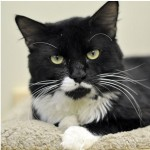 36 Tuxedo Cats Dropped Off At Marin Humane Society With Note Saying Family Lost Home