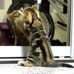 Kitten vs Mirror