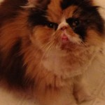 Petitions Seek Rigorous Prosection of Persian Cat Breeder Accused of Attempted Drownings