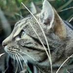 New Zealand Veterinary Association Supports Eradication Of Wild, Feral And Stray Cats