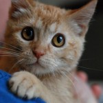 Amelia: Sweet, Specially Abled Miracle Kitty Comes to Tenth Life
