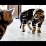 WWF Cute Kitten Wrestling