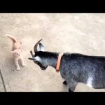 Goat vs. Kitten