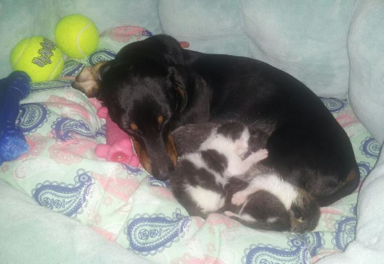 Jojo the Dachshund and Her Kittens: More on the Story