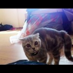 Crazy Jumping Cat