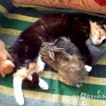 Mama Cat Adopts Bunny