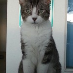 Goodwill Cat Joe Dirt Loses Leg After Shooting and Needs a Home