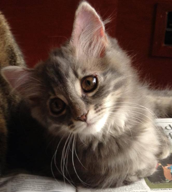 Petal, Cute Squitten Kitten Finds a Home
