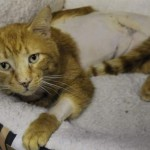 Man Opens His Home to Wounded Cat, Reward is Offered to Find Abuser