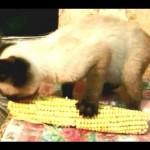 Cat Eats Corn YUM YUM YUM