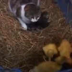 Mama Kitty and Her Ducklings