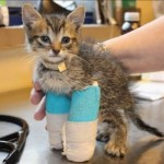 Special Needs Bendy Legged Kitten Spike is Saved and Gets Help