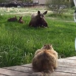 Ginger Meets the Moose Calves