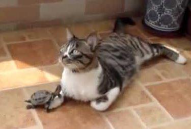 Cat Tries to Ignore Turtle