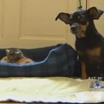 Chihuahua Mix Dog Abandoned at Shelter Mothers Kittens