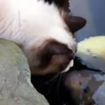 Ragdoll cat gives koi carp a kiss!