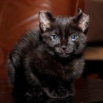 Kitten with Ear Tips Cut Off Recovers, Reward Offered
