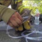 Kitten From Firefighter's Helmet Cam Rescue Dies