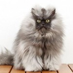 Colonel Meow Makes Guinness Records for Longest Fur on a Cat