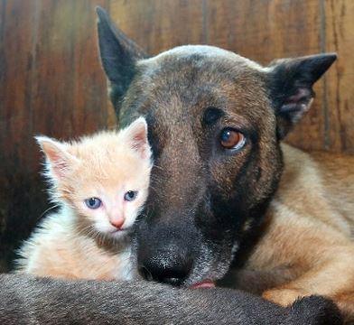Belgian Shepherd Dog Adopts Kitten