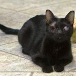 Shea: The Black Kitten Who Beat the Odds