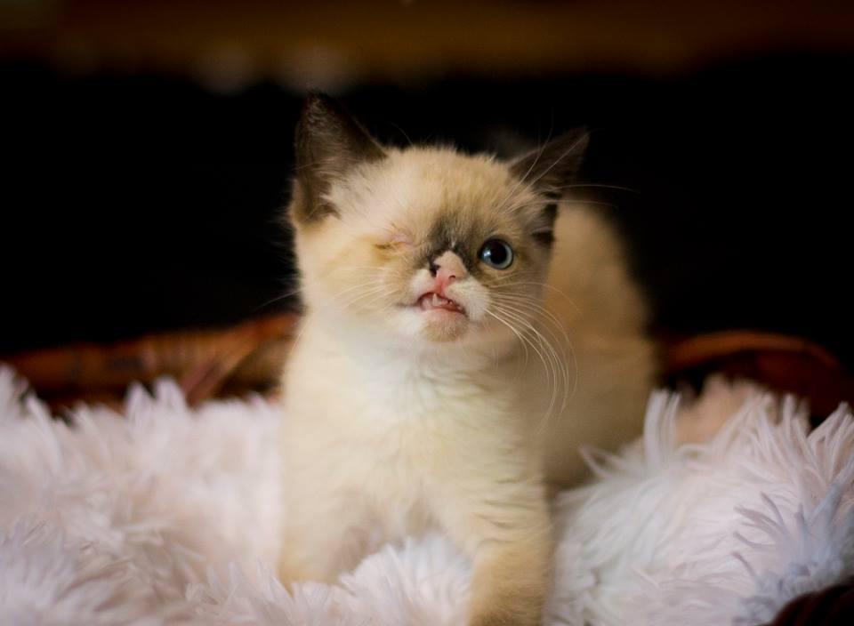 Sir Stuffington: Cute Special Needs Foster Kitten Gains Fame ...