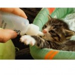 Bottle Baby Kitten with a Big Appetite