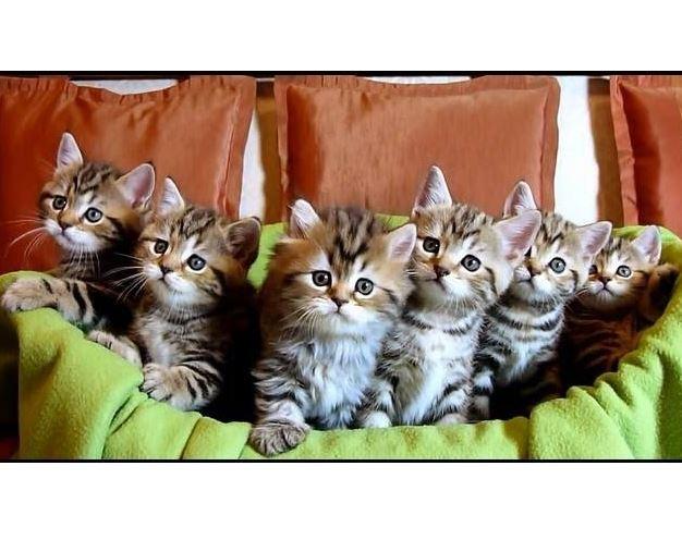 Chorus Line of Kittens