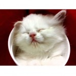 Kitten Sleeping in Cup: The Song