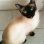 Siamese Cat Opens Door