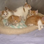 Mystery of the Orange and White Kittens of New Ulm Minnesota