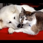 Samoyed Puppy and Cat: best friends giving kisses