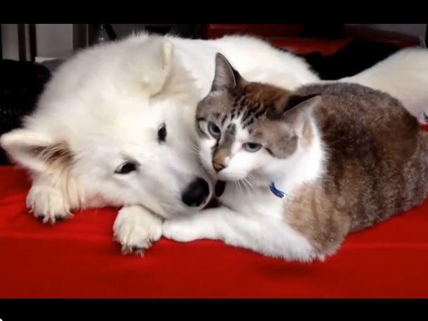 Resultado de imagen para samoyed and cat
