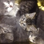 Four Feral Kittens Rescued from Car Engine Begin New Lives