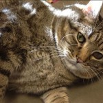 Meatball: 36 Pound Cat Gets Help