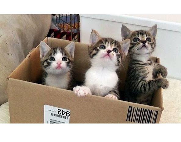 Cute Kitten Chorus Line Dances Inside The Box