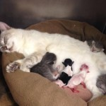 Mama Cat Adopts Newborn Chihuahua Puppies