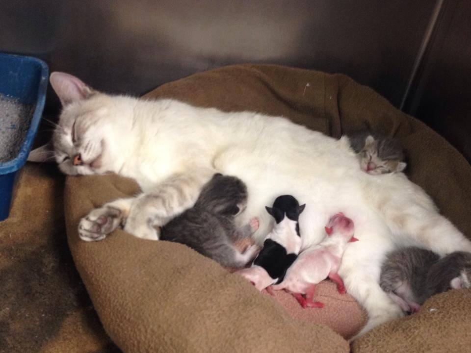 Siamese Cat Adopts Puppy