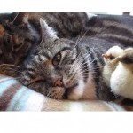 Easter Chicks Sleep With Cats!