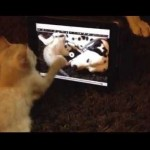 Kitten wants to play with videos of herself playing on the IPad!