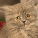 Dori the Persian Kitten is Last of Veteran's Rescued Pets to be Rehomed