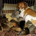 Dog fosters three abandoned kittens along with her puppies