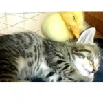 Cute Duckling And Kitten Sleeping Together