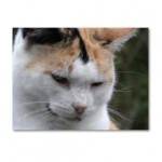 Chronic Vomiting in Cats
