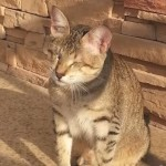 Boccelli: From Sickly Blind Kitten to Healthy, Happy Cat