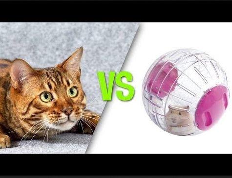 Cats vs Hamsters in Hamster Balls