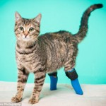 Boots the 2 Legged Cat's Amazing Video and Her Story