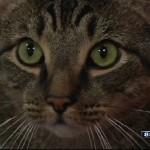 Cat Calls 911