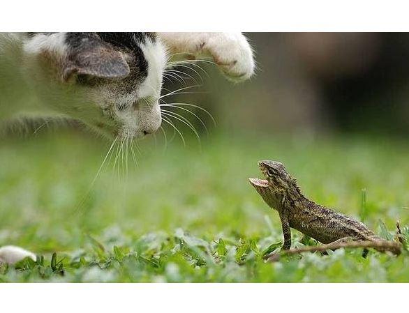 Cats vs Lizards Compilation