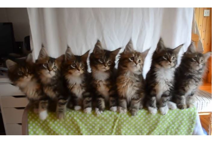 Maine Coon Kitten Chorus Line